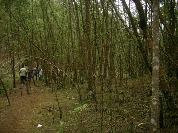 Kodaikanal Pine Forest