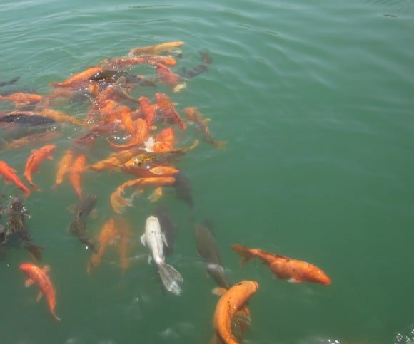 Colorful Fishes in the pond surrounding Golden Temple