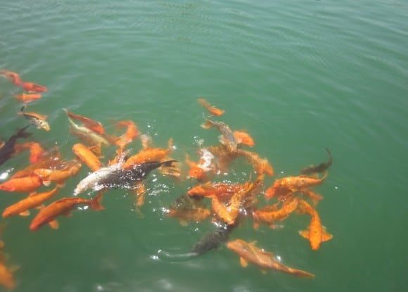 Beautiful fishes in Golden Temple pond