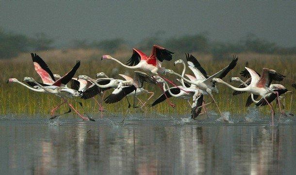 flamingos-nalsarovar