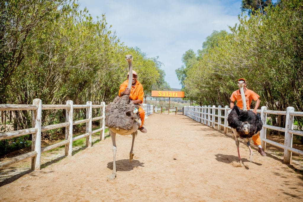 safari-ostrich-show-farm-oudtshoorn-29